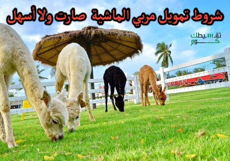 شروط-تمويل-مربي-الماشية-صارت-ولا-أسهل-لتمويل-يصل-إلى-100-ألف-ريال-سعودي